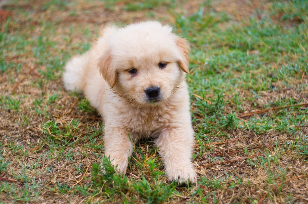 How To Introduce A New Puppy To Your Older Dog The Dog People By