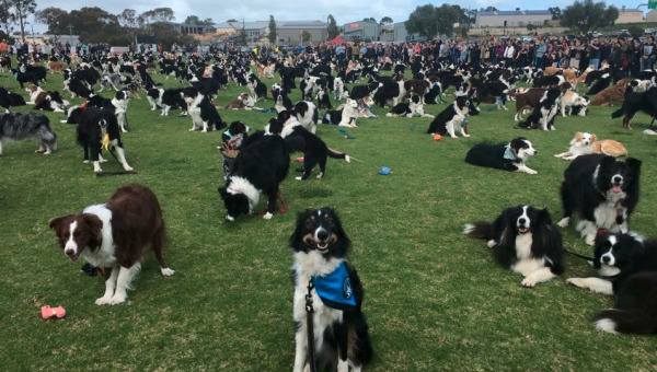 Must-See: 600 Border Collies Gathered on This Field to Break a World Record