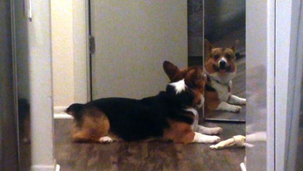 Baby Angel Corgi Just Wants to Share His Bone With His Own Reflection [Video]