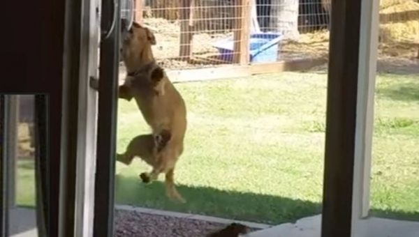 Talented Little Dog Figures Out How to Open Sliding Glass Door [Video]