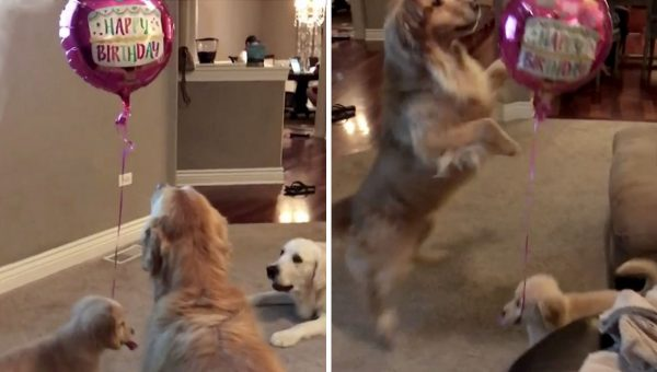 Puppy Gets Hold of Balloon and the Rest of His Pack Is SO Suspicious [Video]