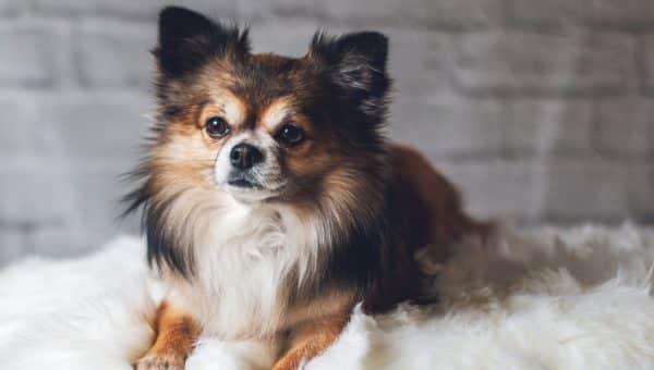 Bli kjent med: Chihuahua