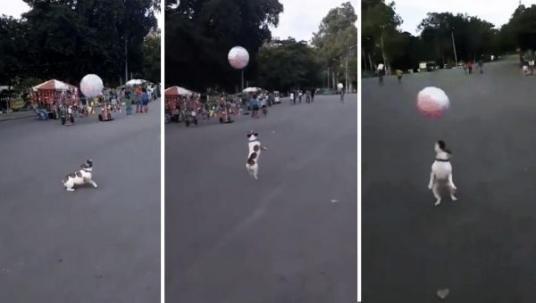 Frenchie Having a (Beach) Ball at Farmer's Market [Video]