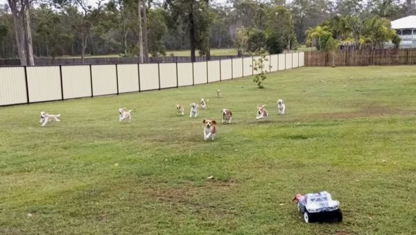 Pack of Beagles Has Time of Their Lives Chasing Remote-Control Car [Video]