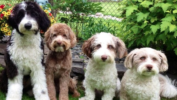 10 Things Only Aussiedoodle People Understand