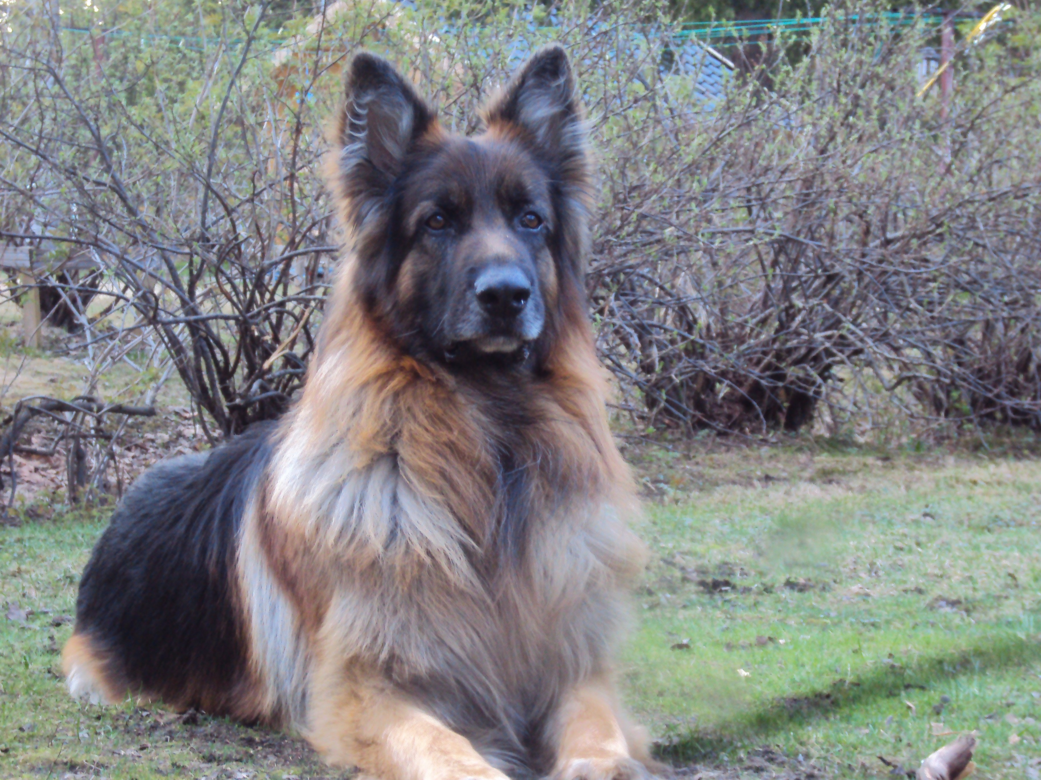 183 Top German Shepherd Dog Names Of 2020 By Popularity