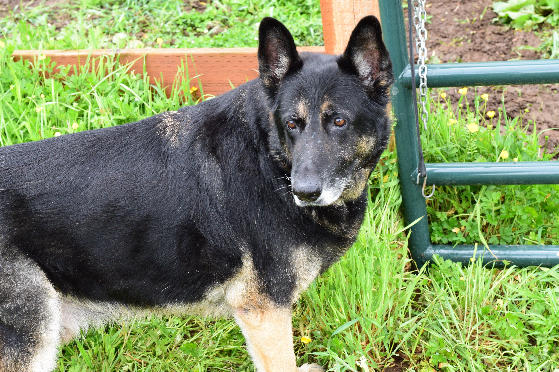 German Shepherd Dog Names | 25 Best Names for German Shepherds
