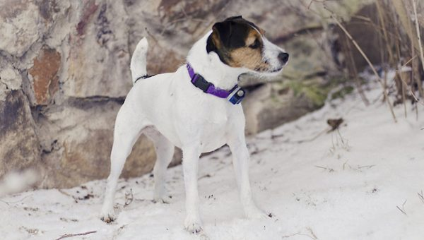 6 Facts That Jack Russell Terrier Fans Know by Heart