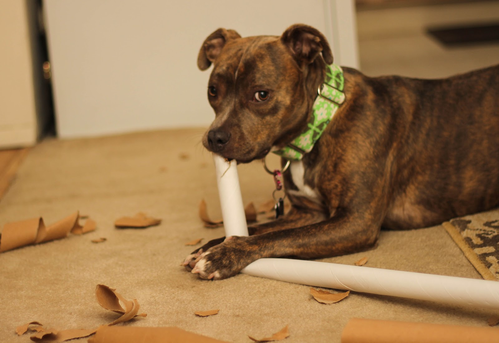 Why Do Dogs Eat Cardboard? | The Dog People by Rover.com
