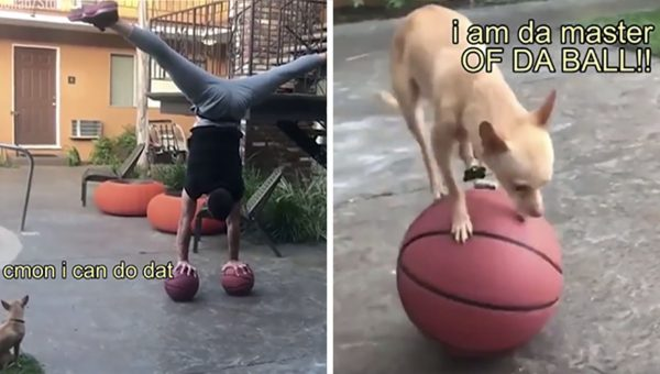 Sassy Chihuahua Copies Dad's Balancing Act in Hilariously Captioned Video