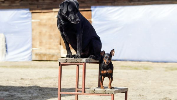 5 Key Differences Between Training a Small Dog vs. a Large Dog