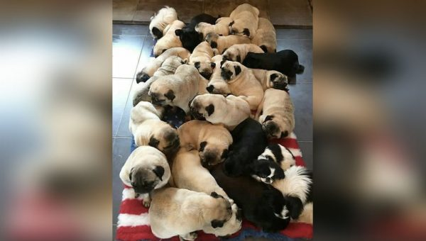 People Really Want to Know How Many Pugs Are on This Rug
