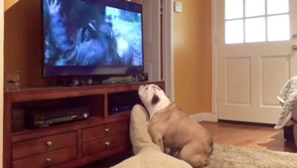 Bulldog Loves Watching Horror Movies and Barking at the Bad Guy
