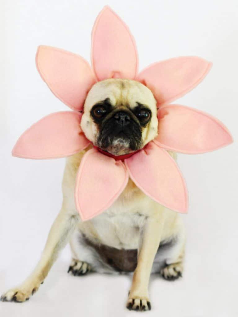 pug with pink fabric flower petals around head