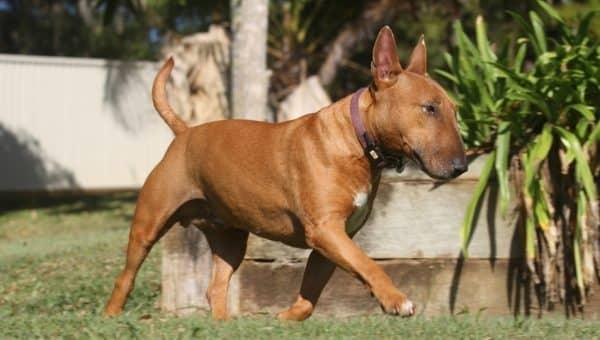Bli kjent med: Bull terrier