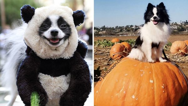 This Tiny Pomeranian Is Winning at Life in His Panda Costumes