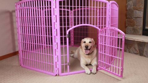 Big dog laying in pink indoor dog pen