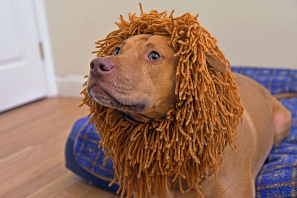 A pitbull models a DIY dog costume made of a knitted lion's mane.