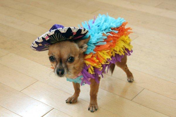 A Chihuahua dressed in a piñata DIY dog costume.