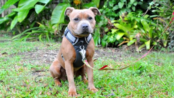 Our Top Picks for the Best Pit Bull Harnesses