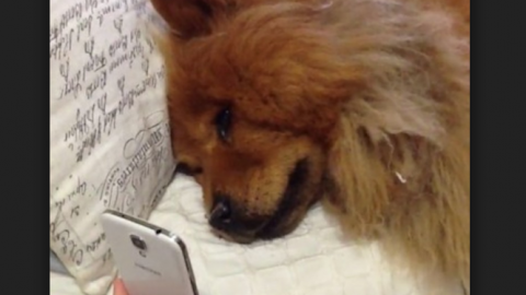 sad chow dogs facetime dogs miss owners