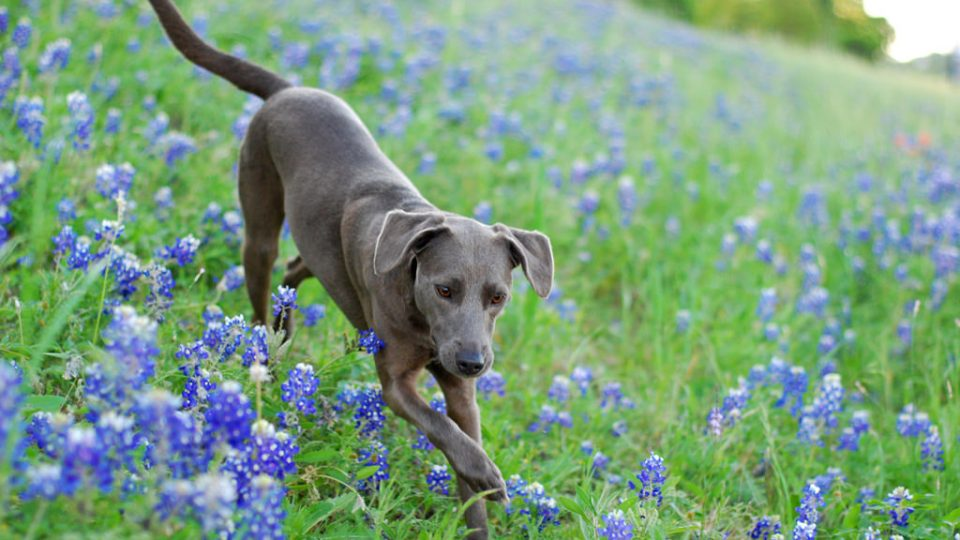 The Blue Lacy Is The Texas State Dog You Need To Meet