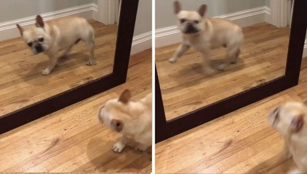 This Little Frenchie is So Cute, He Scares Himself on the Regular [Video]