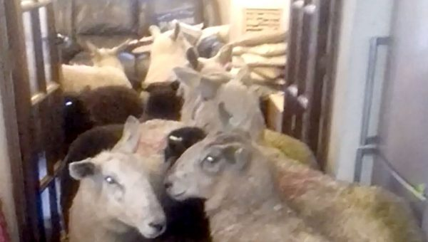 Overachieving Puppy Sneaks Herd of Sheep into Living Room [Video]