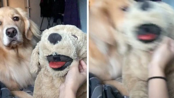 Golden Retriever Refuses to Let Stuffed Dog Steal her Thunder in Hilarious Video