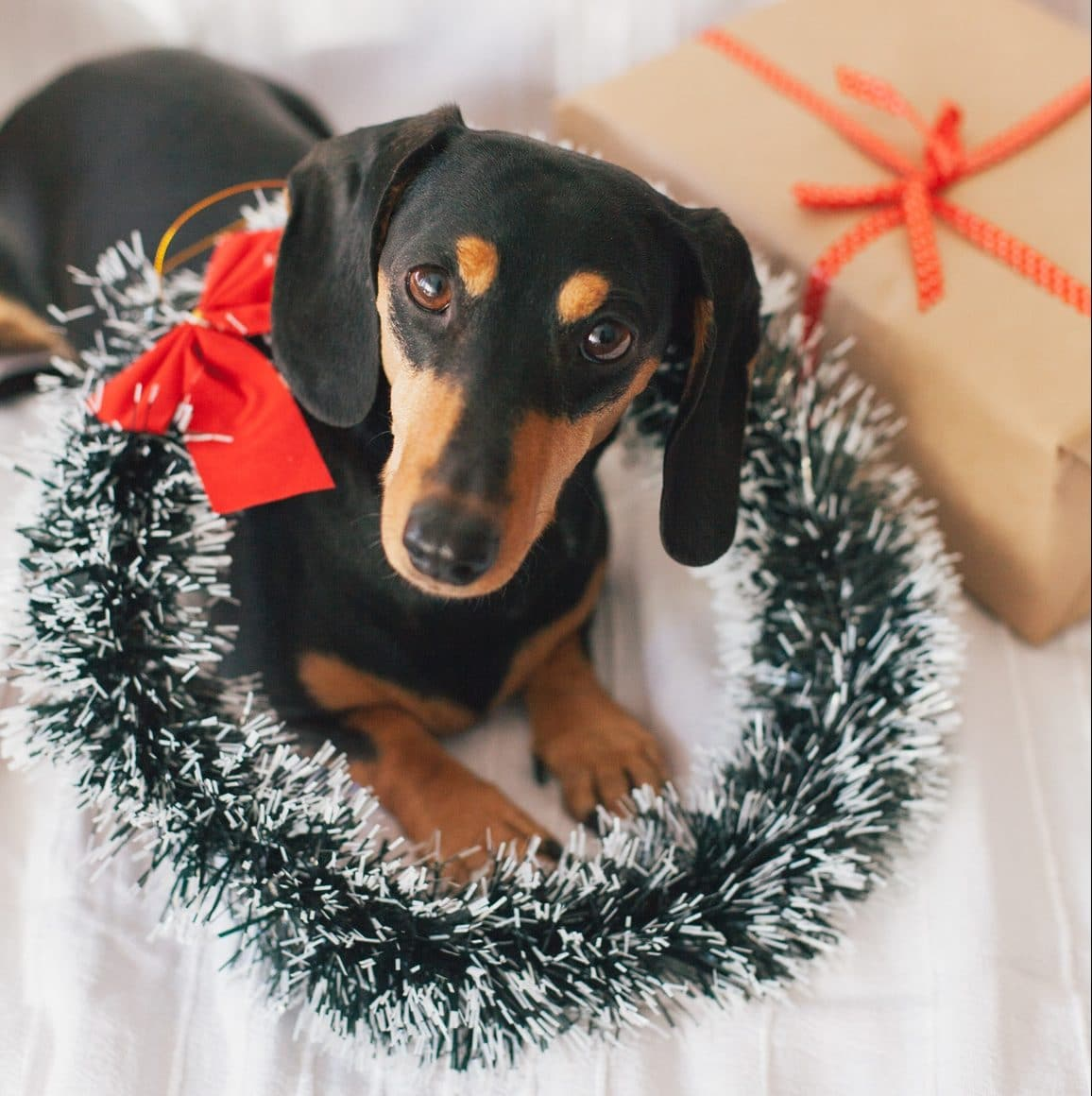 A dachshund puppy celebrating their first Christmas