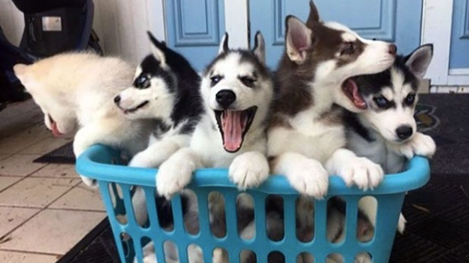 The Best 101 Husky Names of 2018 for Your New Snow Dog