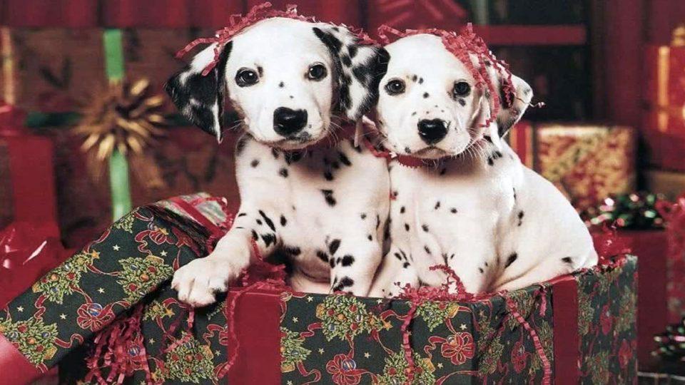Resultado de imagen para dalmatian dog, many gift