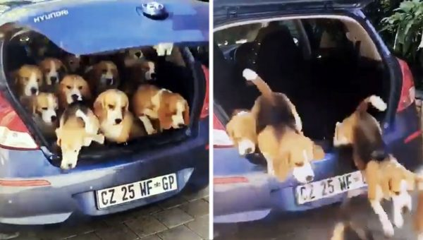 This Little Car Packs A Lot More Beagles Than You'd Expect [Video]