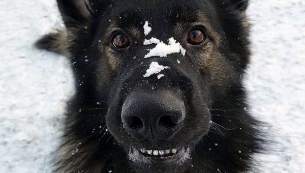 German Shepherd Enjoys Snow with Pure Wonder in Heartwarming Video