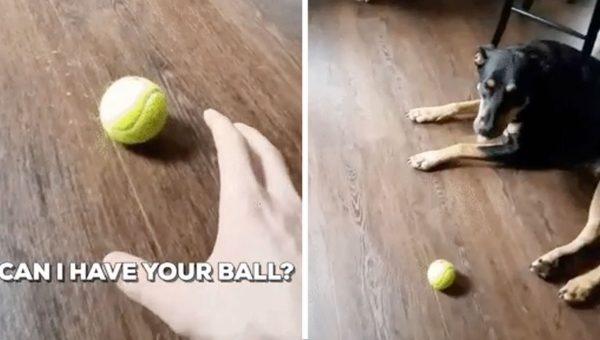 World's Most Polite Dog Refuses to Hand Over Beloved Tennis Ball