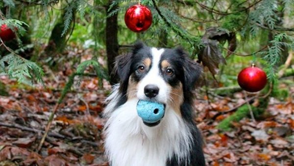 Super-Trained Dog Decorating Tree is the Christmas Video You Needed