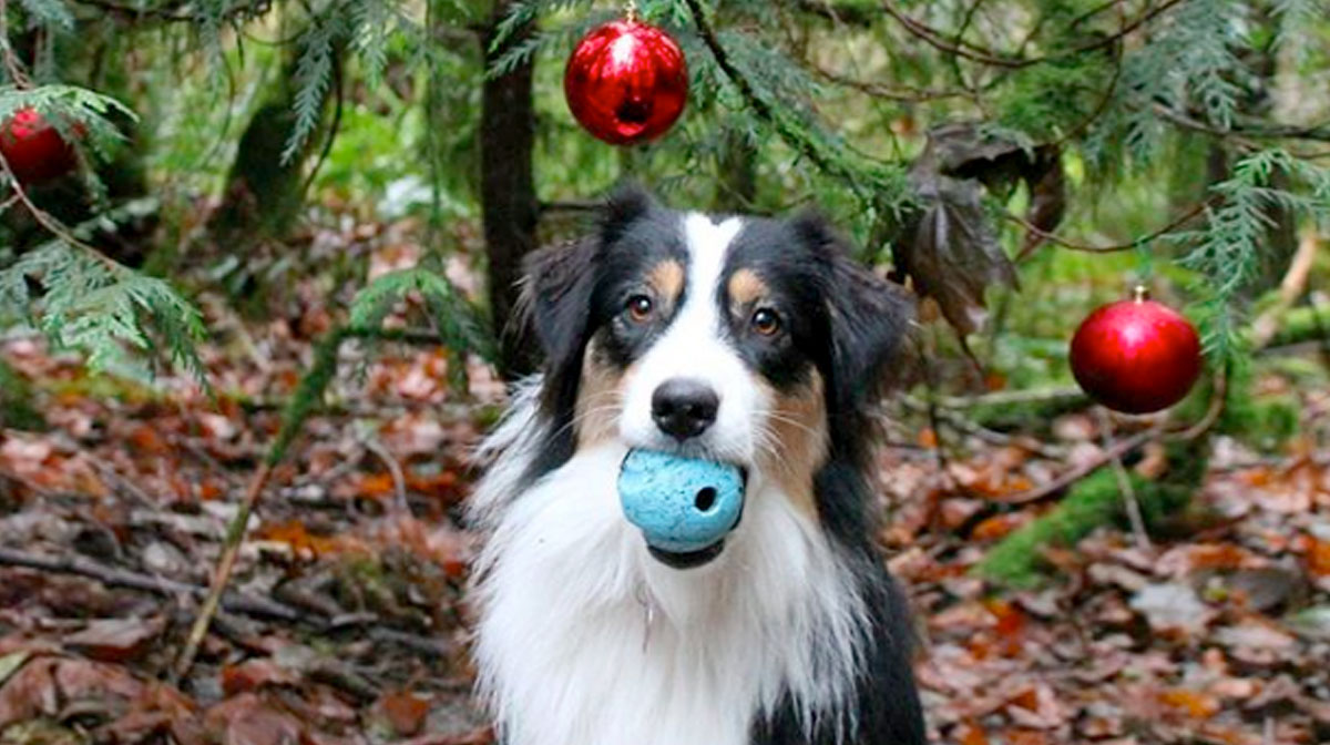 super trained dog decorating tree is the christmas video you needed the dog people by rovercom