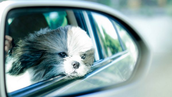 5 Facts That Shih Tzu Lovers Truly Appreciate
