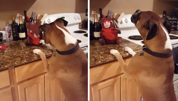 Adorable Boxer Sings Along to 'Rudolph the Red-Nosed Reindeer' [Video]