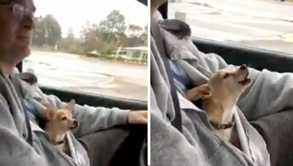 Tiny Diva Chihuahua Sings Along to U2 in Hilarious Video Clip