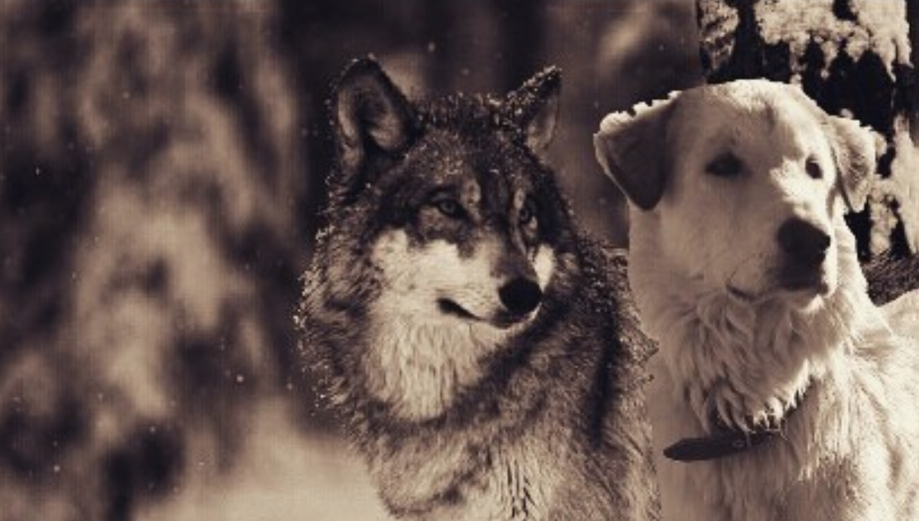Wolf vs  Dog: What's the Difference? | The Dog People by