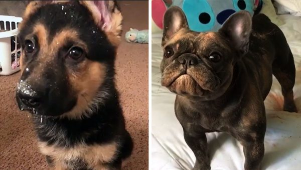 Two Naughty Puppies Got into the Sparkles: Who Wore It Better?