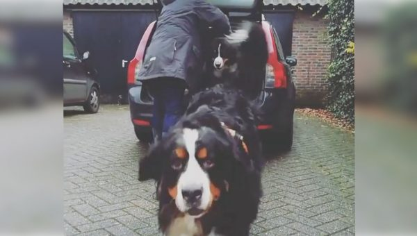 A Pile of Bernese Mountain Dogs Streams Out of a Single Car in Sweet Video