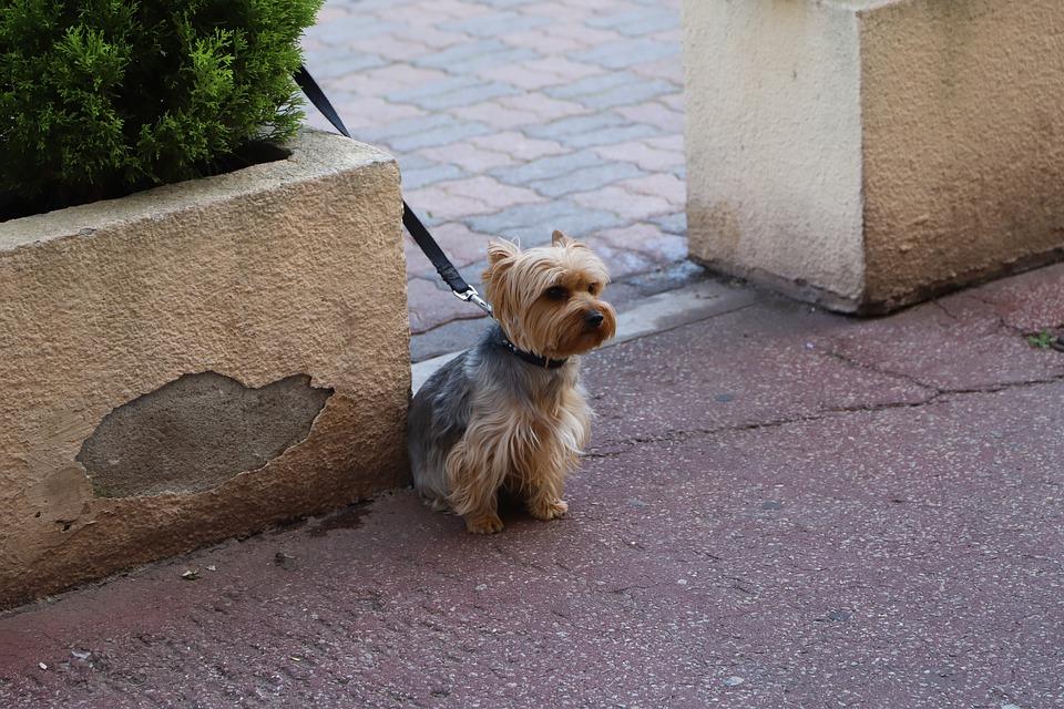 un chien en ville tenue en laisse