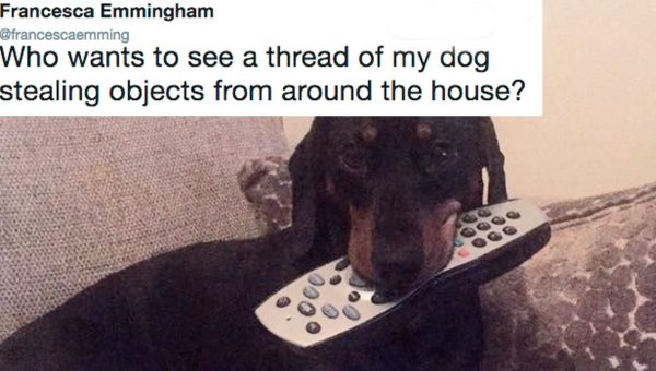 Sneaky Dachshund Gains Internet Fame for Stealing All the Things