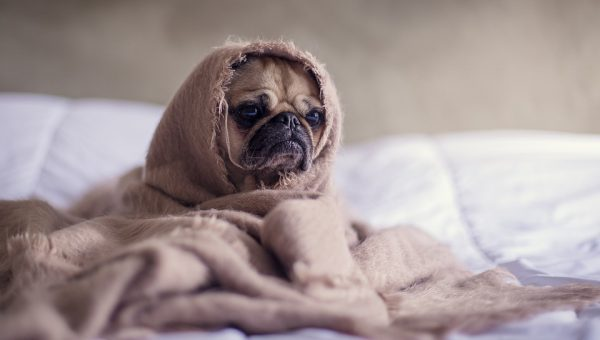 Does your dog have a cold? This pug in blankets may.
