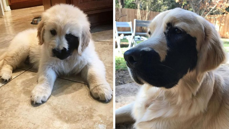 This Golden Retriever Has A Rare Beauty Mark We Can T Get Enough Of