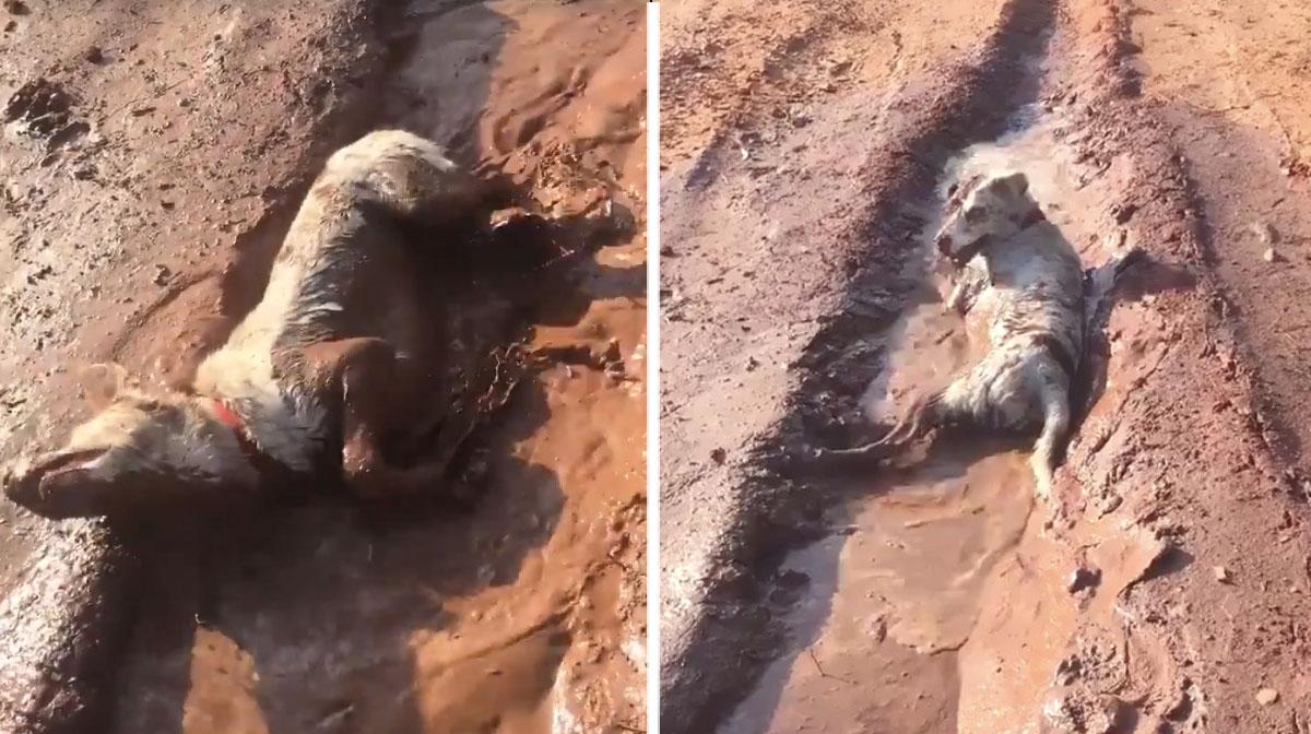 Dog Enjoys Epic Mud Bath In The Australian Outback Video