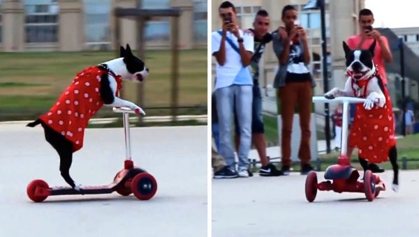Cute Boston Terrier Rules the Scooter in her Red Dress [Video]