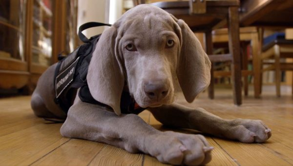 Here's Why This Weimaraner Works at the Museum of Fine Arts